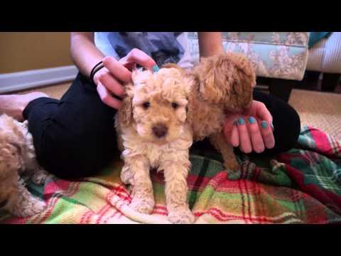 Libby's Australian Labradoodle Puppies