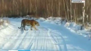 Вести-Хабаровск. Тигр вышел в люди!