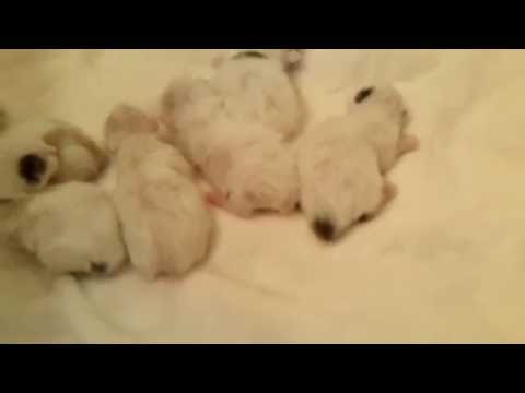 Missy's Magnificent Seven - Japanese Bobtail Kittens - 7/9/16