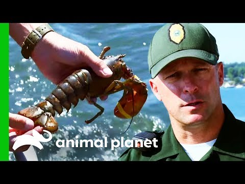 Teenage Fisherman Caught With Illegal Breeding Lobster | North Woods Law