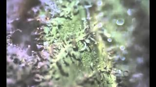 medical cannabis vs. street marijuana (microscope) (GOOD!)