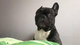 Французский бульдог Олег - живой будильник | Посылка для Олега