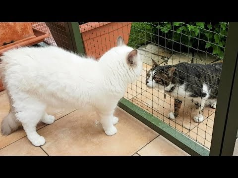 Ragdoll Merlin meets another cat outside for the first time