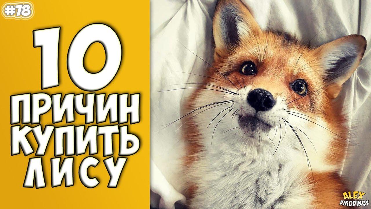10 ПРИЧИН КУПИТЬ ЛИСУ - Интересные факты!