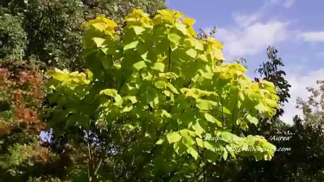 catalpa bignonioides 39 aurea 39 bluebell nursery youtube. Black Bedroom Furniture Sets. Home Design Ideas