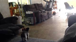 Poodle And Kitty Zoomies