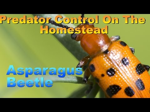 Predator Control on the Homestead: Asparagus Beetle