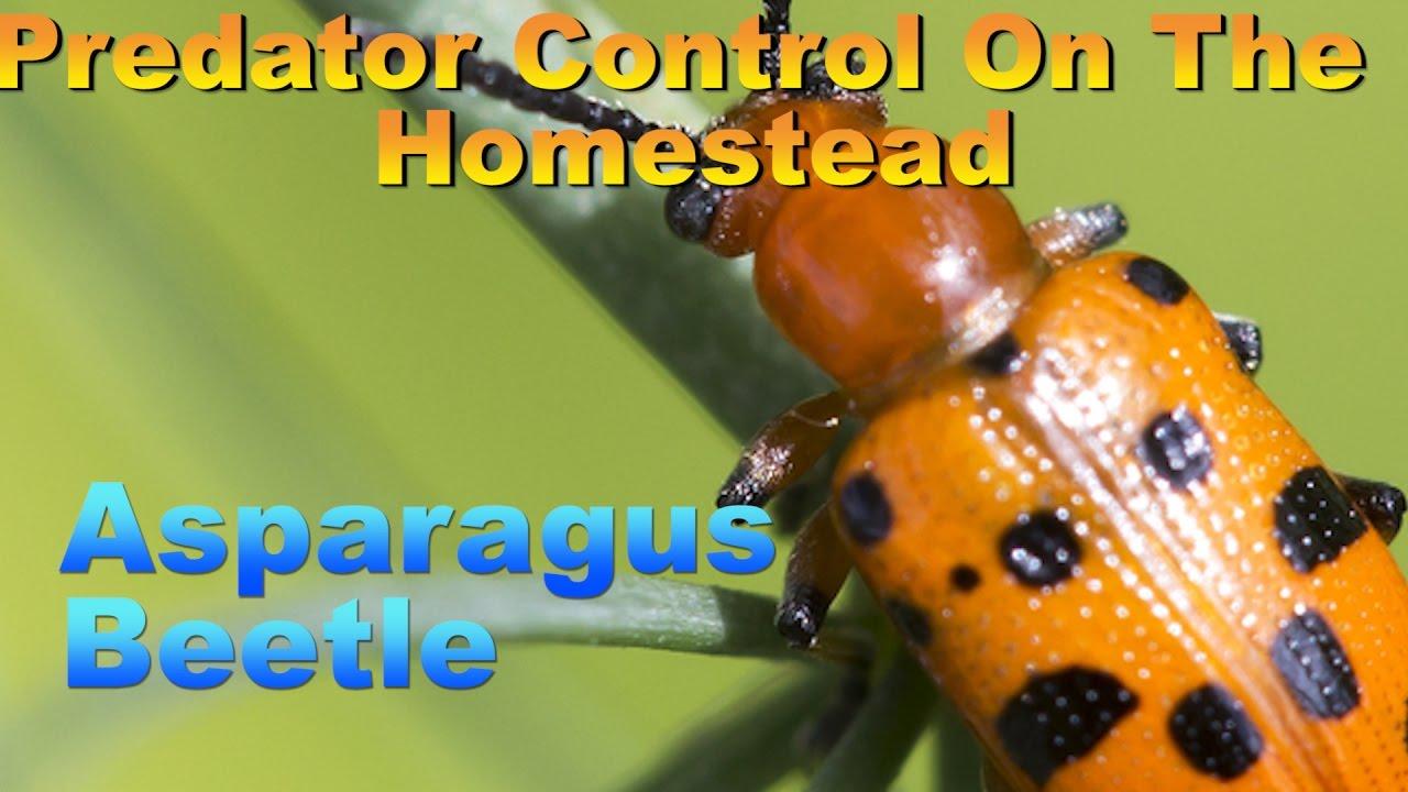 Asparagus Beetle Control: Predator Control On The Homestead: Asparagus Beetle