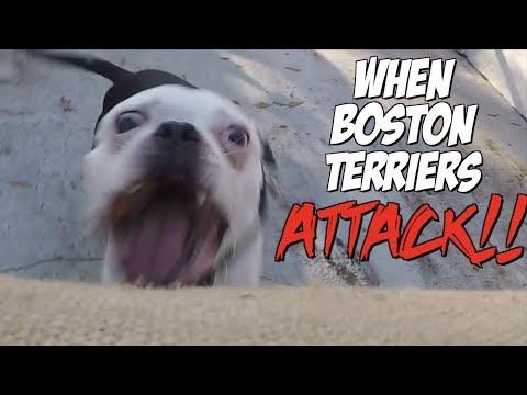 When Boston Terrier Dogs ATTACK!!