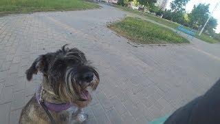 Непослушная собака, проблема с котами!!! Миттельшнауцер Тара и другие собаки