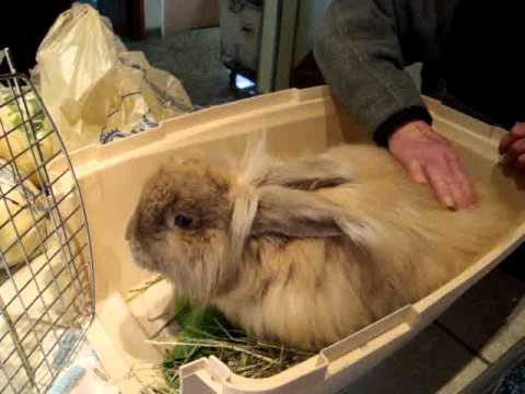 giant angora rabbit antoine at rabbit haven youtube