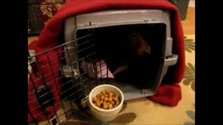 Faith The Dachshund Dog Blesses Food Christmas Eve 2012
