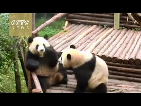 """""""Evil"""" panda robs food from friend's mouth"""