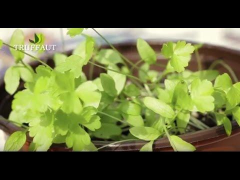 comment semer du persil ? - jardinerie truffaut tv - youtube
