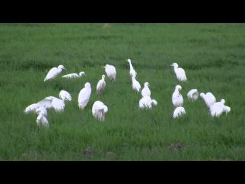 Wonderful School Of Cattle Egret (Bubulcus Ibis) Closeup Video