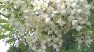 tinctura de păducel cu varicoză)