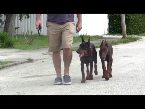 Doberman Pinscher puppies go through Intensive 1 week dog training program!