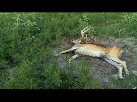 The Effects of Bluetounge Disease On Whitetail Deer