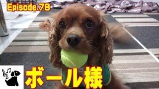 新しいボールがお気に入り過ぎて肌身離さず持ち歩きます。 キャバリアキ...