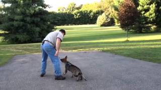 Training Our 13 Week Old Baby Puppy Dog German Shepherd