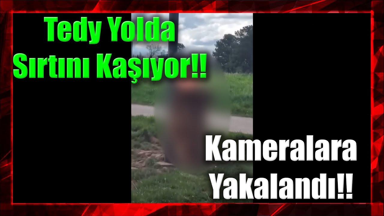 Sırtı Kaşınan Ayı Tedy Yolda Sırtını Kaşırken Kameralara Yakalandı!!