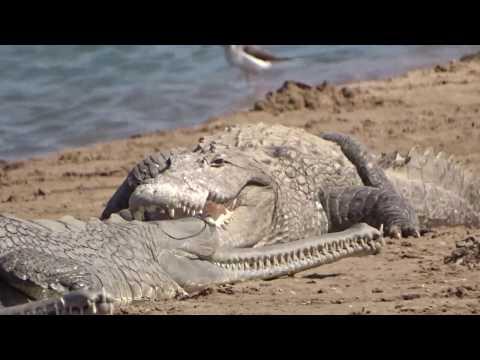 Crocodiles and gharials chambal river