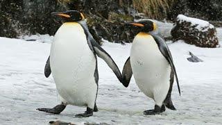 面白い、かわいいペンギン|ペンギンズの失敗ビデオ編集 面白い猫や甘い...