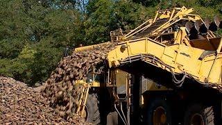 «Шериф» в поле: уборка сахарной свеклы завершится в ноябре на Кубани