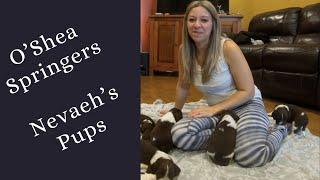 Nevaeh's Puppies   3 Week old English Springer Spaniel