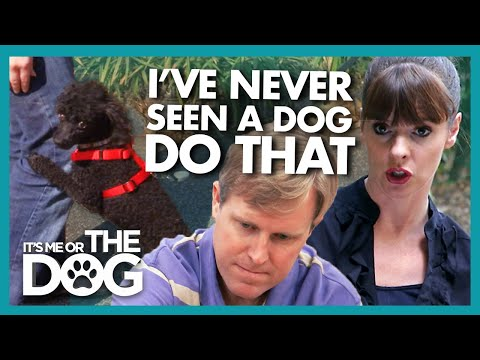 Miniature Poodle TERRIFIED of Being Walked by Male Owner | It's Me or The Dog