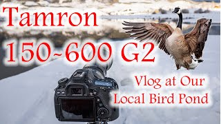 Tamron 150-600 G2 / Canon 80d at our local Bird pond. ( actual photography at 5:40 )