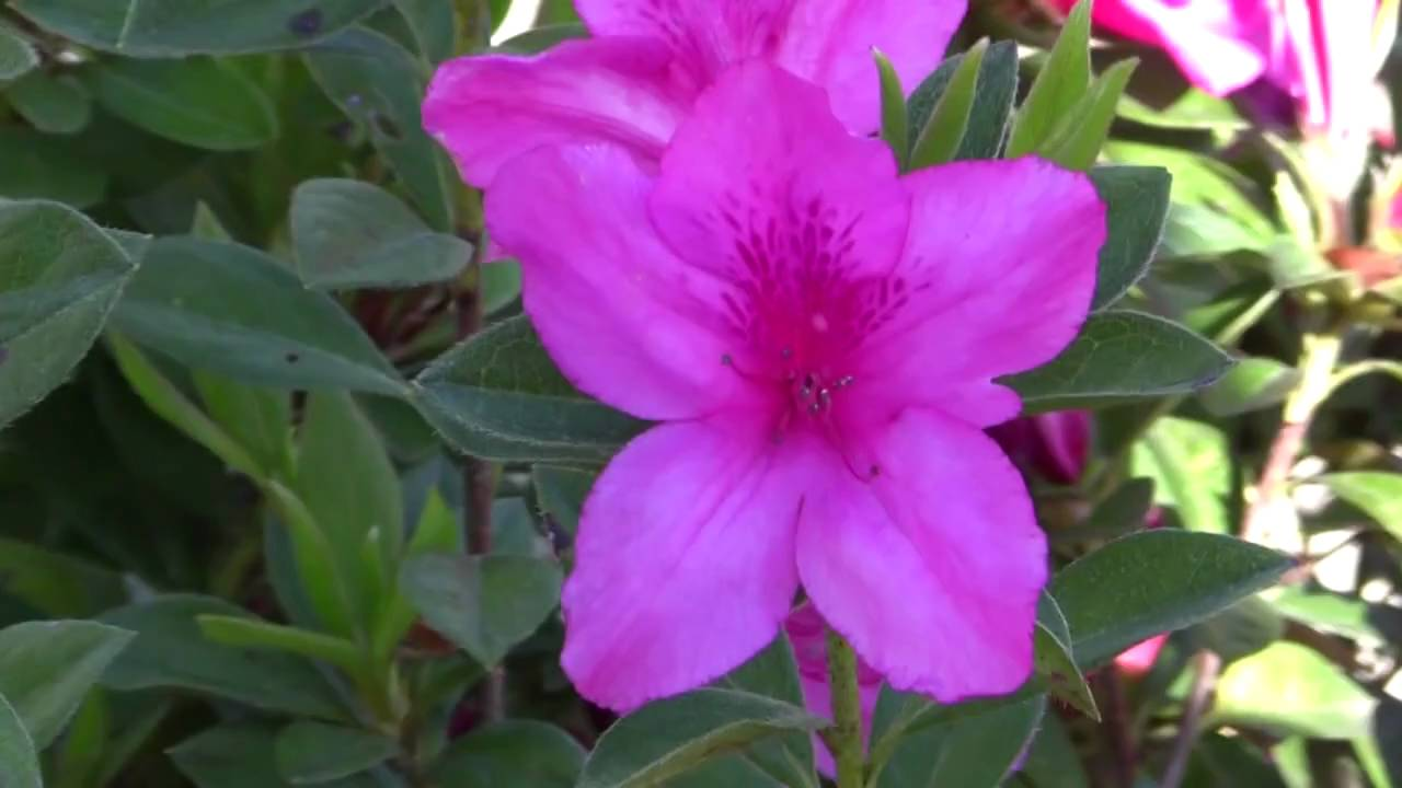 Plant Azalea Shrubs Judge Solomon Cultivar Purple
