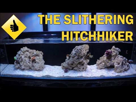 Sneaky Hitchhiker - Brittle Starfish