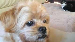 I'm Nuts!  【mix Dog  Poodle And Pekingese】 ミックス犬