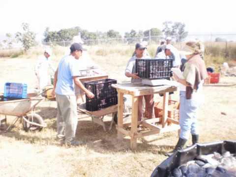 Cosecha de tilapia en tanques circulares doovi for Tanques circulares para acuicultura