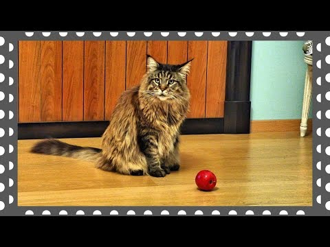 Maine Coon Willy messes about