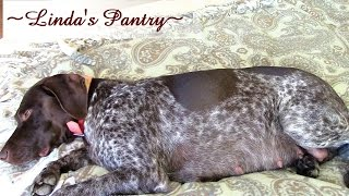 ~sage German Shorthair Pointer At 55 Days Pregnant With Linda's Pantry~