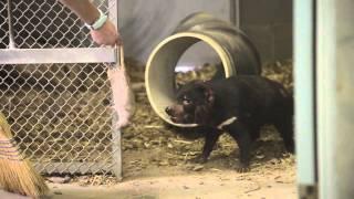Tasmanian Devils at ABQ BioPark