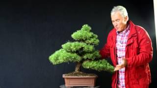 INTERNATIONAL BONSAI ACADEMY with Walter Pall 2013 - Case Study 11/ Pinus nigra 'Lara'