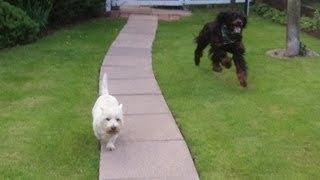 Westie Pads & Gordon Setter Mckenzie Having A Whizz At A & B Dogs Boarding & Training Kennels.