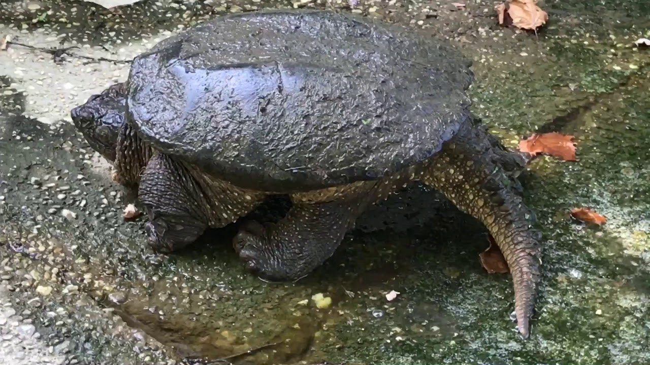 The worlds biggest alligator snapping turtle - YouTube  The worlds bigg...