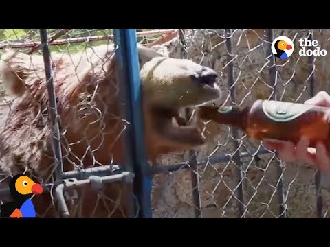 Bears Forced to Drink Beer, Take Selfies Can Finally Enjoy Life | The Dodo