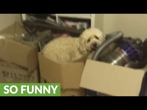 Silly doggy decides to sleep in cardboard box
