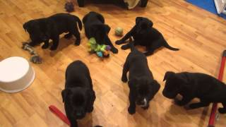 Video Hershey baby bedlam - we love to play! 5 wks old. 5/5/2014 download MP3, 3GP, MP4, WEBM, AVI, FLV Agustus 2017