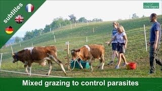 Alternating grazing to control parasites in young cattle