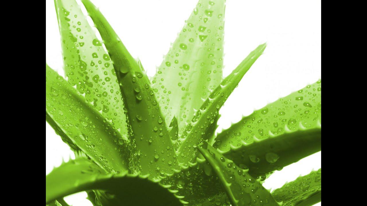 растение алоэ вера фото