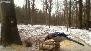 Mr Blue Jay Having Some Suet