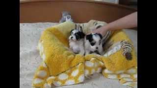 Щенки бивера - мальчик и девочка в возрасте 5,5 недель. Ирикидс, Пенза.