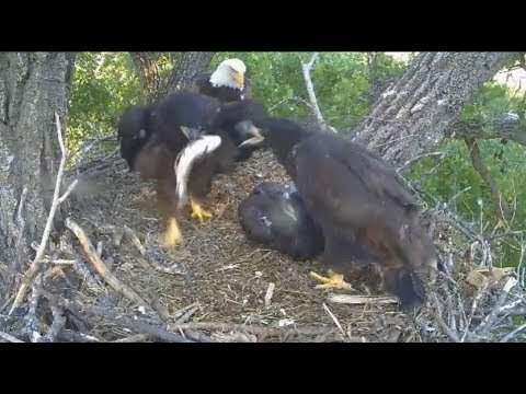 Decorah Eagles~N2B-Let's See Who Can Steal First_3 Fish Deliveries-Slow Mo_5.28.17