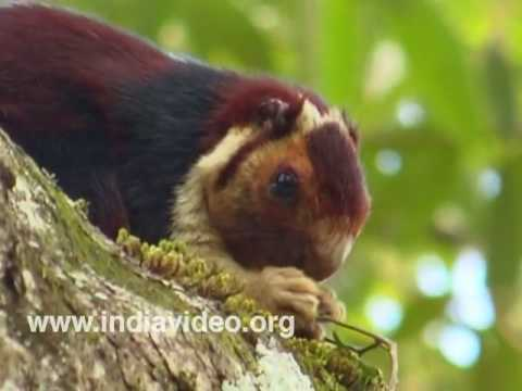 Malabar Giant Squirrel or Ratufa Indica Maxima